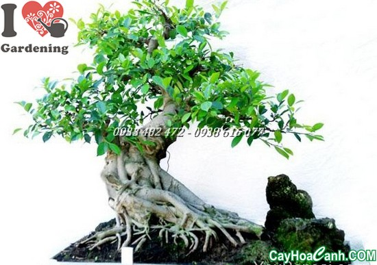 cay si bonsai