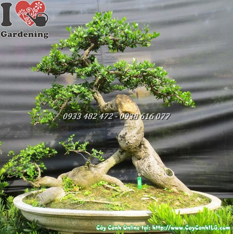 Cay dui bonsai