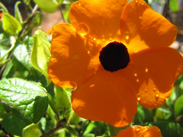 Black-Eyed Susan, Vine 01
